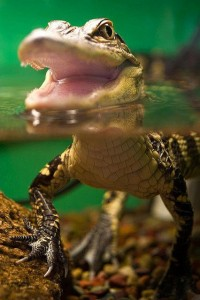 Baby Alligator | Amazing Pictures