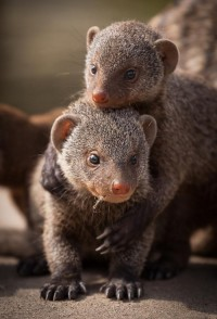 Mongoose siblings | Amazing Pictures