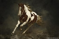 Pinto Horse in Motion - 54ka [photo blog]