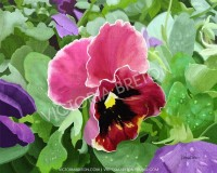 Pansies 8 x 10 Digital Painting Print by vbdigitalpaintings