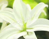 White Lily 8 x 10 Digital Painting Print by vbdigitalpaintings