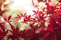 Nature Photography Fall Autumn Red Leaves Tree by DreameryPhoto
