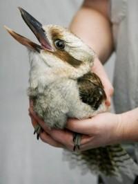we won't run - chasinglinnaeus: Kookaburra