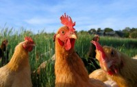 chicken-farm-animals-0375106_14440_600x450.jpg (470×300)