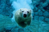 Amoebas Amoebas Everywhere! • ruineshumaines: Polar Bear Dive (by Snelvis)