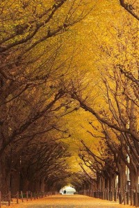 Autumn Gingko Tree Tunnel, Tokyo, Japan. | Autumn