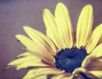Sunflower Art Print by p+ photography | Society6
