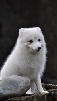 Arctic fox htc one wallpaper - HTC wallpapers