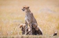 500px / Cheetah Family by Mark Dumbleton
