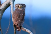 500px / Glaucidium passerinum by Thomas Marth