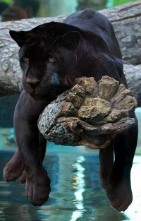 Black jaguar | Amazing ? World