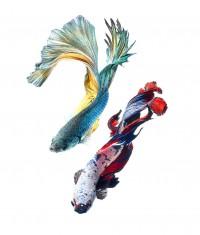 500px / siamese fighting fish by visarute angkatavanich