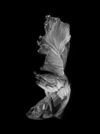 500px / betta fish by visarute angkatavanich