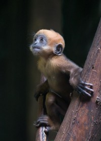 rancois's leaf monkey: Photo by Photographer hans... at Magical Nature Tour