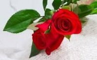 rose flower wallpapers - Google Search