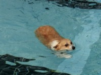 These Pictures Of A Corgi Swimming Are Both Incredibly Sad Yet Really Funny