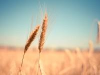 Grain Field Detail - Stock Photo - FreebiesXpress