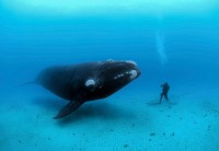 southern-right-whale-meets-diver.jpg (960×664)
