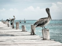Pelicans By The Dock - Stock Photo - FreebiesXpress