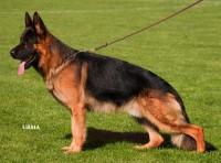 VA1 TR 2010-2011 (VA2 POR-VA4 HUN) Baru vom Fürstenbrunn - German Shepherd Dog
