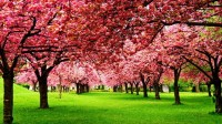 30 Most Beautiful Cherry Blossom Photos In The World