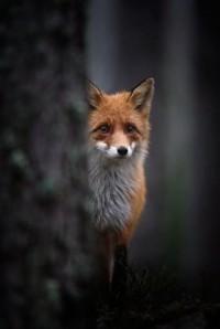 Piccsy :: FOX