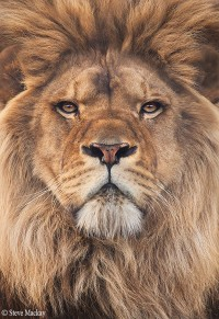 500px / Lion by Steve Mackay