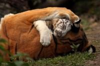 Tigres---Pascale-Papillon.jpg (900×600)