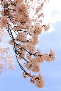 SAKURA?Cherry blossom?/ Jindai Botanical Gardens, Chofu, Tokyo | Flickr: partage de photos!