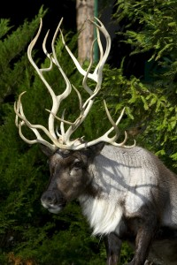 All sizes | Reindeer | Flickr - Photo Sharing!