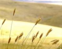 prairie grass art - Google Search