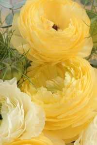 Ranunculus | Flowers I love ·*? | Pinterest