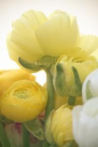Ranunculus | Paisajes | Pinterest