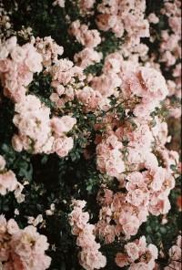 pale pink garden roses | P H O T O G R A P H Y | Pinterest