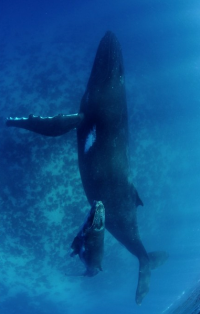 Life's Best. — thelovelyseas: humpbacks in tonga by Shawn...