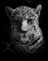 Black and White Jaguar Cub Photography Portrait by StudioZoom