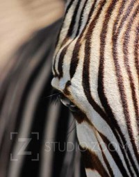 Hartmann's Mountain Zebra Photography Portrait by StudioZoom