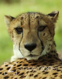 African Cheetah Photography Portrait by StudioZoom on Etsy