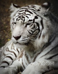 White Tiger Photography Portrait by StudioZoom on Etsy