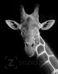 Black and White Giraffe Photography Portrait by StudioZoom on Etsy