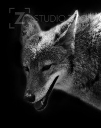 Black and White Coyote Photography Portrait by StudioZoom on Etsy