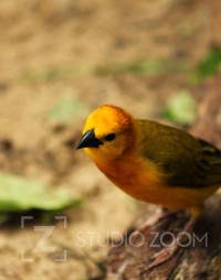 Taveta Golden Weaver Photography by StudioZoom on Etsy