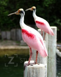 Roseate Spoonbill Photograph by StudioZoom on Etsy