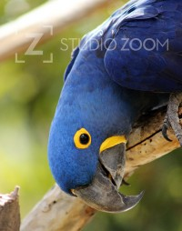 Hyacinth Macaw Photography Portrait by StudioZoom on Etsy