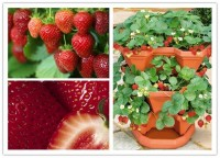 DIY Strawberry Plants in a Pocket