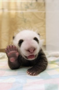 Excruciatingly Cute Picture Of A Little Baby Panda Waving His Tiny Panda Paw