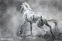 White Horse in Dust – Equestrian Beauty - 54ka [photo blog]