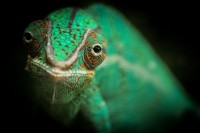 a chameleon Photo by Le Boulanger Nicolas -- National Geographic Your Shot