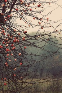 apples orchard landscape photography Fine Art Photograph canvas galle…