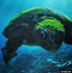 More than 100 years old turtle, Southern Great Barrier Reef - 9GAG